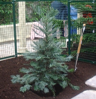Wollemi Pine before official planting