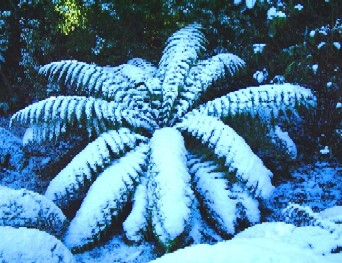 Dicksonia antarctica in the snow - click for larger picture