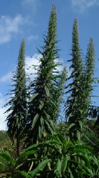 A forest of Echium pininana - click for larger picture