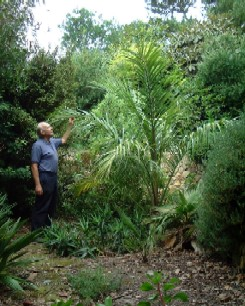 The ungrowable palm -  Juania australis - click for larger picture