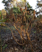 Sonchus arboreus killed by frost - click for larger picture